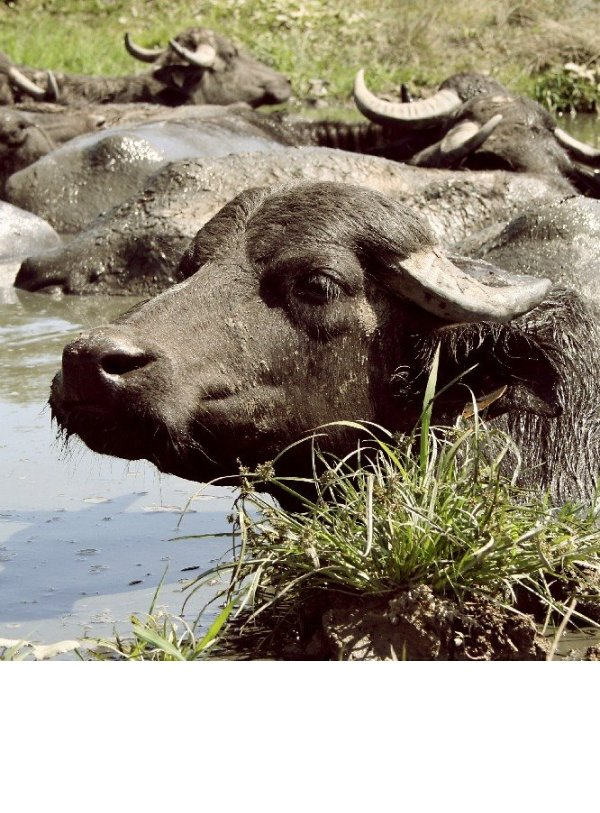 Water buffalo near Bazna